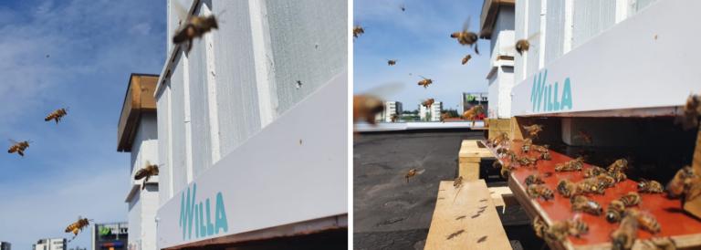 Mehiläiset pörräilevät Willan katolla